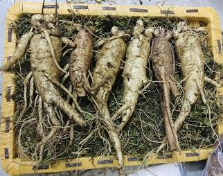 SÂM ít rễ - SÂM TƯƠI ít rễ -Sâm cắt